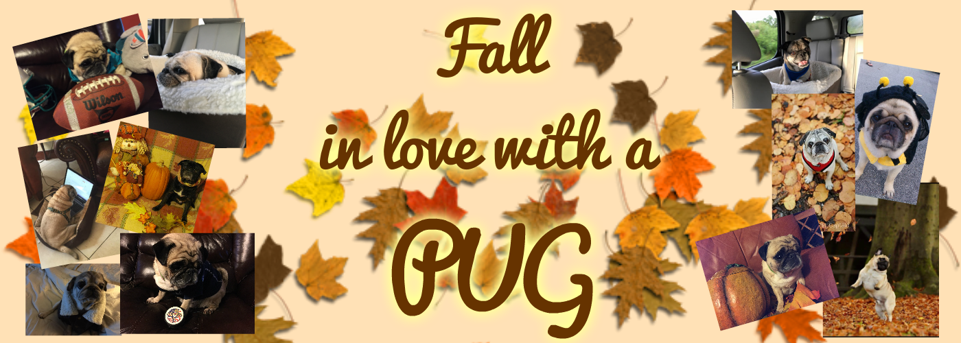 Fall in Love with  Pug 3