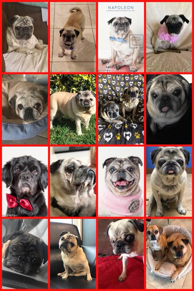 Compassionate Pug Rescue | A Non-Profit All Volunteer Pug Rescue