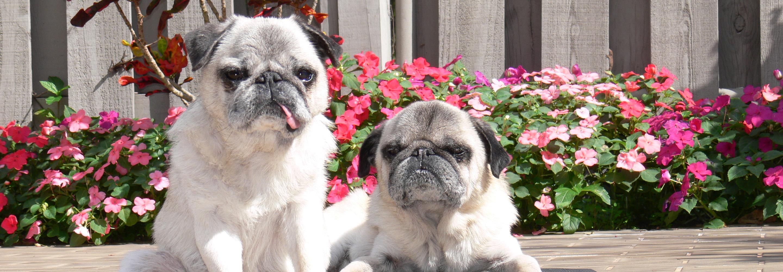 Compassionate Pug Rescue | A Non-Profit All Volunteer Pug