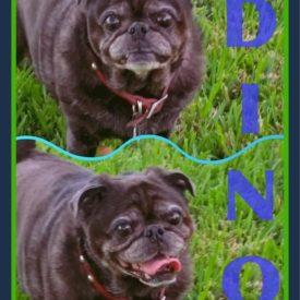 Adoptable Pugs | Compassionate Pug Rescue